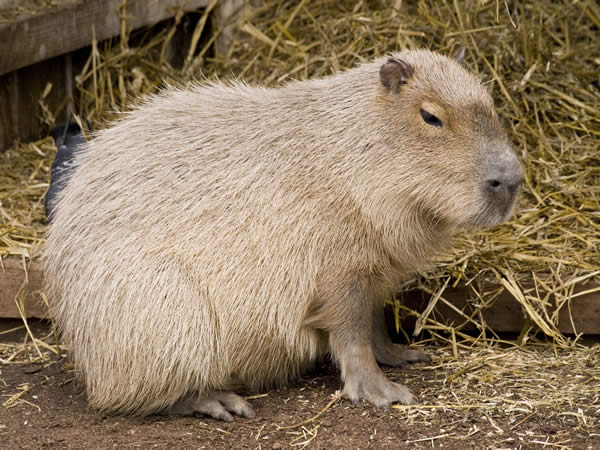 review_20131125_capybara_1.jpg